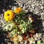 fleurs de souci