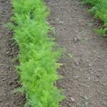 Potager : les carottes