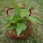 Tisanes : de la récolte à la tasse